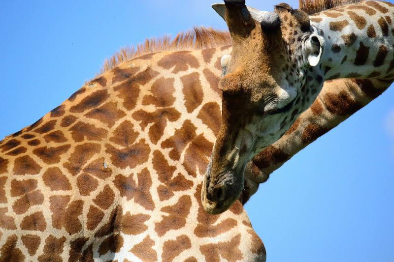 Nairobi Giraffe Centre